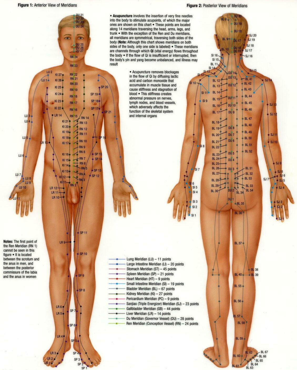 enhanced immunity and organ function from meridian massage Chinese meridian oil massage time,enhance immunity,strengthen the blood and lymph circulation,improve spinal compression,and adjusting the organ balance function.