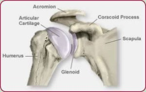 shoulder_coracoid process_anatomy